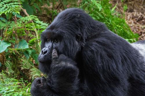 2015年2月 卢旺达火山国家公园 张蓓蓓拍摄